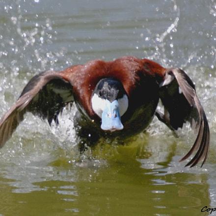 Érismature rousse/ Ruddy duck, Pentax K-7, Sigma