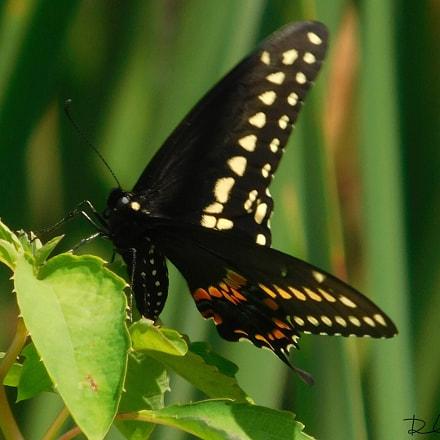 Butterfly , Nikon COOLPIX L840