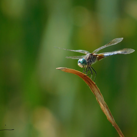 Dragonfly , Nikon COOLPIX L840