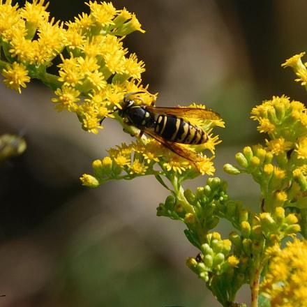 Bee, Nikon COOLPIX L840
