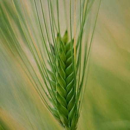 Barley, Sony ILCE-7RM3, Sony FE 85mm F1.8 (SEL85F18)