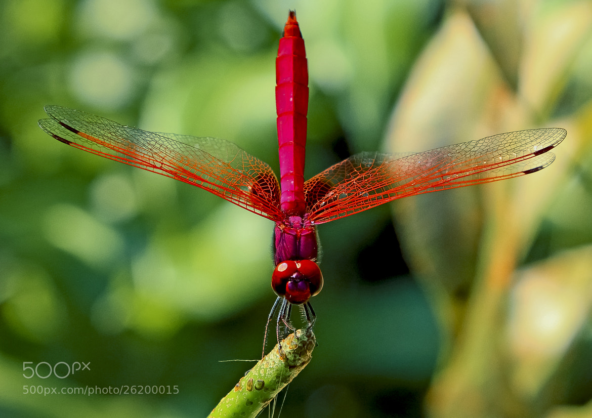 Photograph Dragonfly-红运当头。 by FaceChoo Yong on 500px