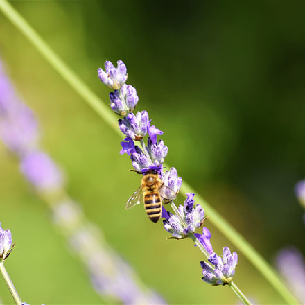 Pčela, Nikon D3300, AF-S DX Nikkor 55-200mm f/4-5.6G ED VR II