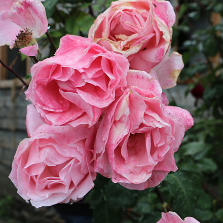 Pink Roses in bloom, Canon EOS 70D, Canon EF-S 18-135mm f/3.5-5.6 IS STM