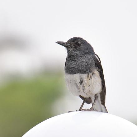 Oriental Magpie Robin, Nikon D500, AF-S DX Nikkor 18-300mm f/3.5-6.3G ED VR