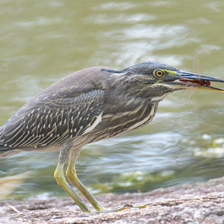 Striated Heron, Nikon D500, AF-S DX Nikkor 18-300mm f/3.5-6.3G ED VR