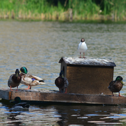 Утки на озере, Nikon D7100, AF Zoom-Nikkor 70-210mm f/4