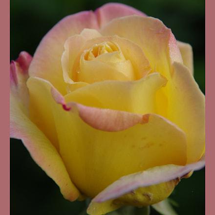 Rose, RICOH PENTAX K-3, smc PENTAX-DA 18-135mm F3.5-5.6 ED AL [IF] DC WR