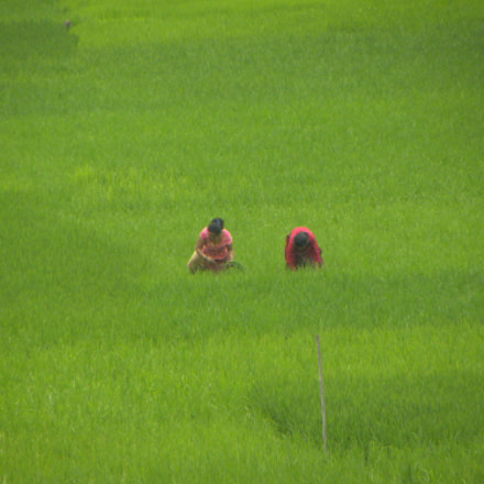 Women in rice field, Nikon COOLPIX P90