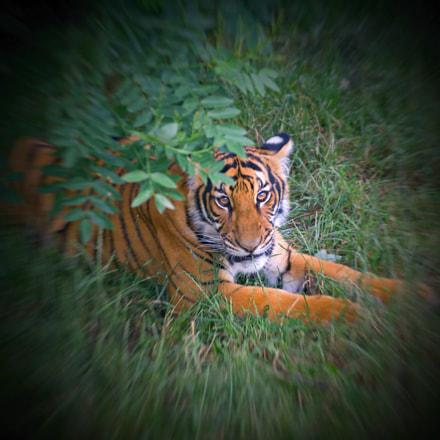tiger, Canon EOS 60D