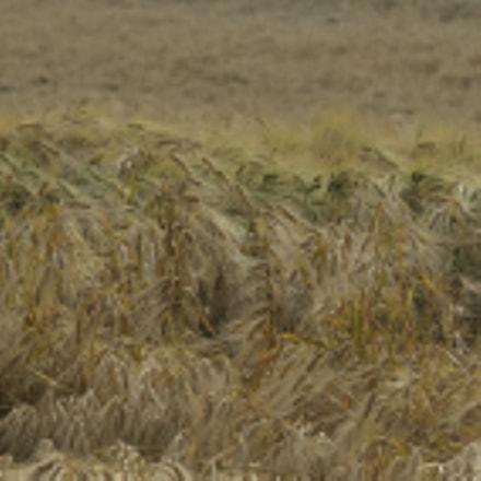 Barley celebration L'orge la, Nikon D800E, Zeiss Milvus 85mm f/1.4