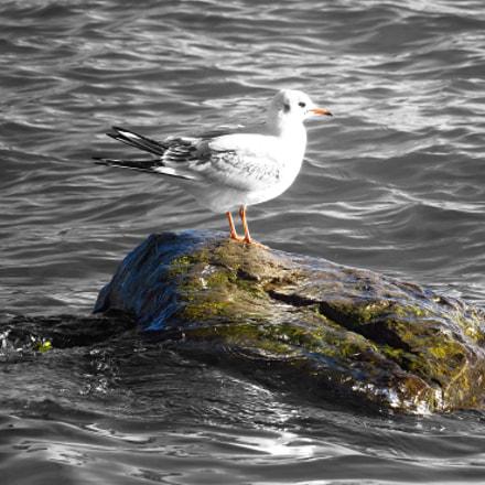 Gull at the lake., Canon POWERSHOT SX720 HS