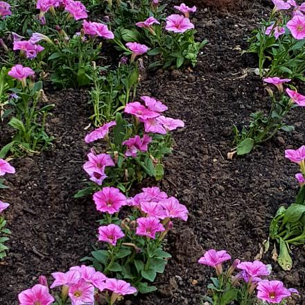 Pretty pink flowers, Samsung Galaxy S6