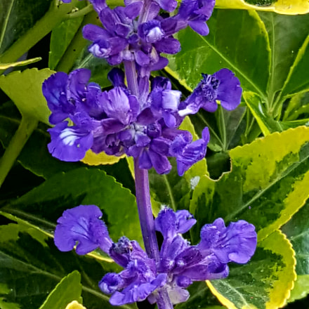 Purple flowers, Samsung Galaxy S6