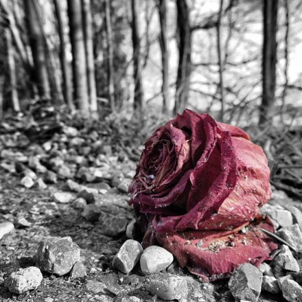 Rose at decay., Canon POWERSHOT SX720 HS