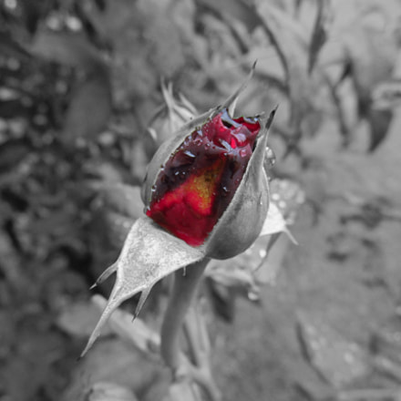Rose in bloom., Canon POWERSHOT SX160 IS