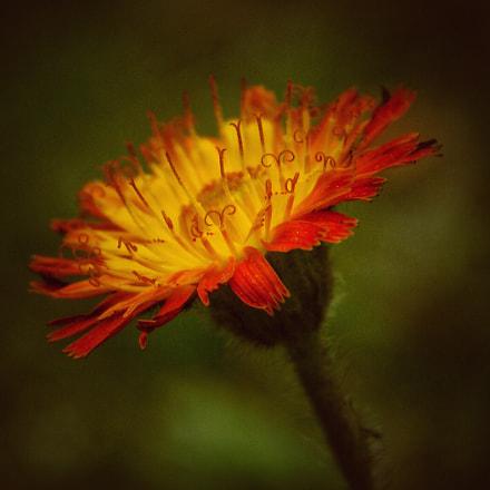 Little wildflower, Nikon COOLPIX B500