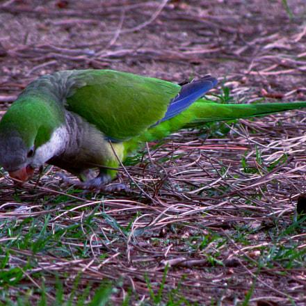 Green bird, Canon POWERSHOT SX510 HS