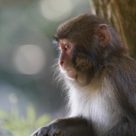 Side Face  Monkey Portrait, Canon EOS-1D X MARK II, Canon EF 100-400mm f/4.5-5.6L IS II USM