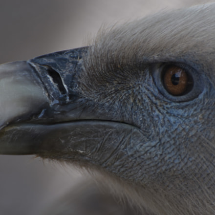 Portrait of a Vulture . . ., Nikon D7200, AF-S VR Zoom-Nikkor 70-300mm f/4.5-5.6G IF-ED