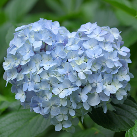 Heart-shaped natural hydrangea 6803, Canon EOS 7D MARK II, Canon EF 100mm f/2.8L Macro IS USM