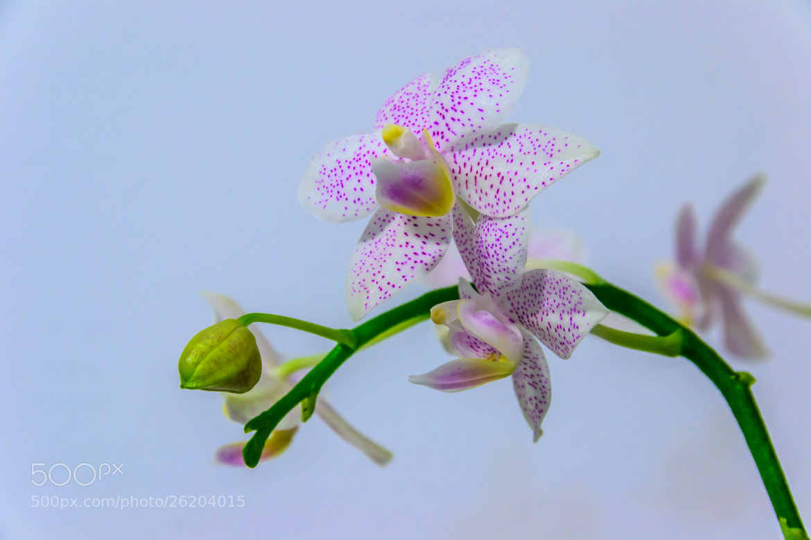 Photograph Orchids by Anna Brezhneva on 500px