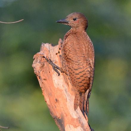 Rufous Woodpecker, Nikon D5200, AF-S Nikkor 200-500mm f/5.6E ED VR