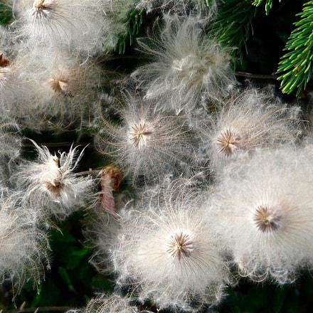 Fluffy Mountain Aven Seeds, Panasonic DMC-FZ18
