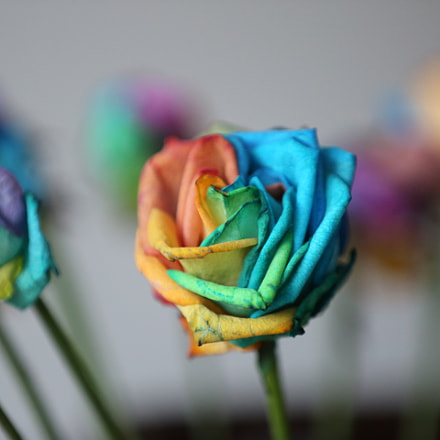 Colorful rose, Canon EOS 5D MARK III, Canon EF 70-200mm f/2.8L IS II USM
