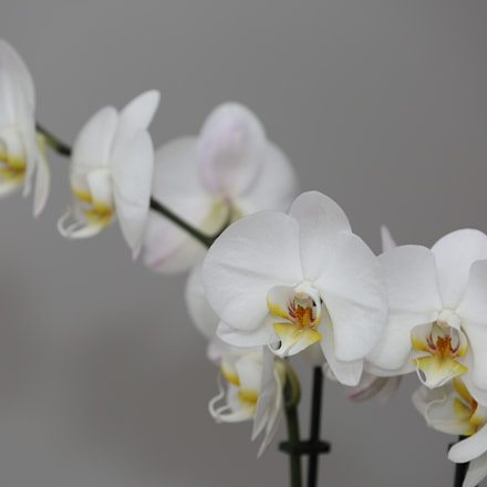 White orchid, Canon EOS 5D MARK III, Canon EF 70-200mm f/2.8L IS II USM