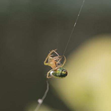 Ma petite Spider past, Nikon D750, Sigma Macro 105mm F2.8 EX DG OS HSM