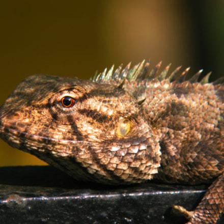 common Indian chameleon, Canon POWERSHOT G9