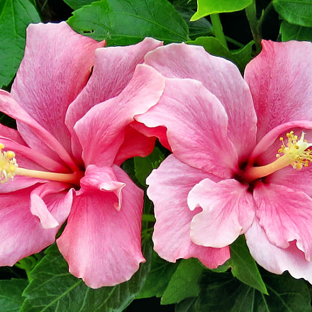 Two Pink Hibiscus's In, Canon POWERSHOT SX60 HS, 3.8 - 247.0 mm