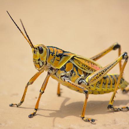 Colorful Cricket, Nikon D5200, AF-S DX VR Nikkor 55-300mm f/4.5-5.6G ED