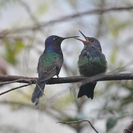 Swallow-tailed hummingbird, Nikon D5200, AF-S Nikkor 200-500mm f/5.6E ED VR