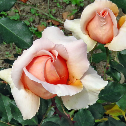 Two Pink Roses In, Canon POWERSHOT SX60 HS, 3.8 - 247.0 mm