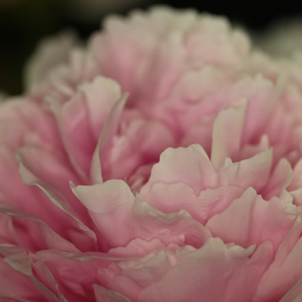 Paeonia Blooming Indoors, Canon EOS 700D, Canon EF-S 60mm f/2.8 Macro USM
