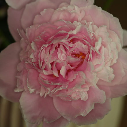 Paeonia Blooming Indoors02, Canon EOS 700D, Canon EF-S 60mm f/2.8 Macro USM