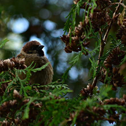 Morning Sparrow, Nikon D5200, AF-S DX VR Nikkor 55-300mm f/4.5-5.6G ED