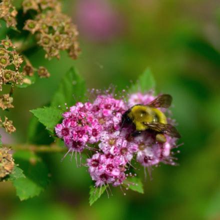 Fresh, dried flower& Bee, Nikon D750, Tamron SP AF 90mm f/2.8 Di Macro 1:1 (272NII)