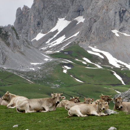 Cantabrian cows , Canon POWERSHOT SX500 IS