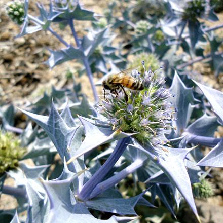 Wildflower and bee, Sony DSC-W610