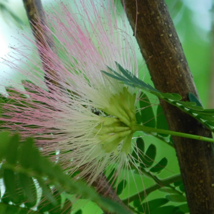 feathery mimosa bloom underside, Nikon COOLPIX B500