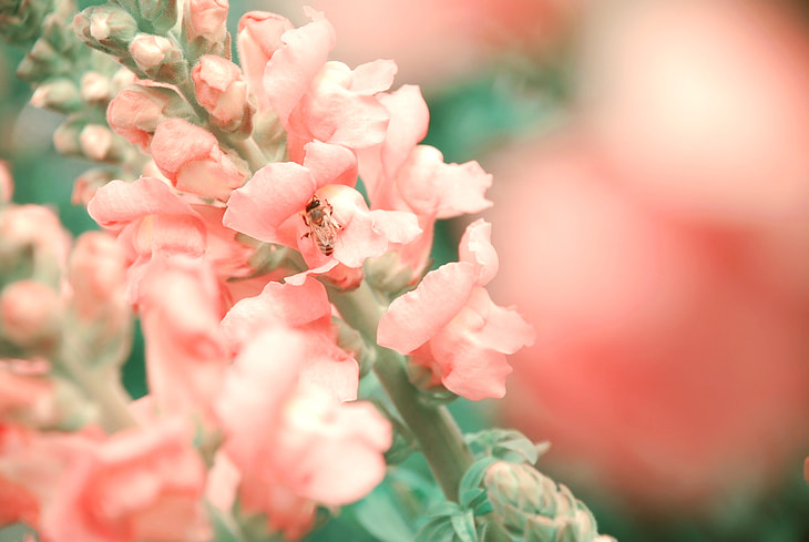 Photograph Snapdragon by cljb Y on 500px
