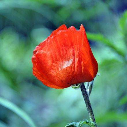 Red poppy, Nikon D610, AF-S Nikkor 28-300mm f/3.5-5.6G ED VR