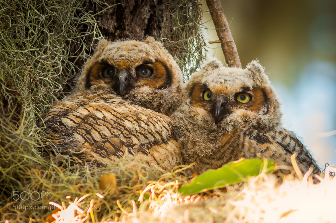 Photograph Florida Owl Chicks by George Bloise on 500px