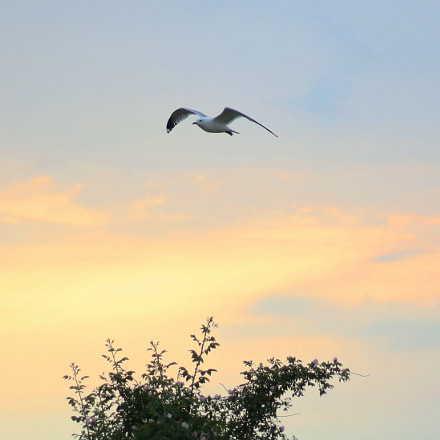 Seagull (Laridae) and sunset, Canon EOS 100D, Canon EF 50mm f/1.8 STM