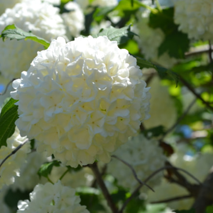 white flower puff, Nikon D3100, AF-S DX VR Zoom-Nikkor 18-55mm f/3.5-5.6G