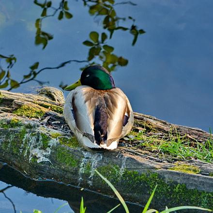 Duck stories (#1), Nikon D5200, AF-S DX VR Nikkor 55-300mm f/4.5-5.6G ED