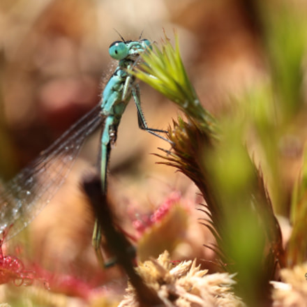 The Little Dragonfly, Canon EOS 5D MARK IV, Canon EF 100mm f/2.8L Macro IS USM